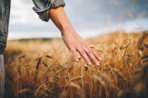 person walking through a wheat field, touching the wheat with hand